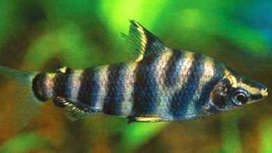 Photo of Abramites hypselonotus