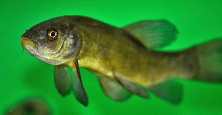 Deformacje ciała ryb. Porady akwarystyczne. Akwarystyka.