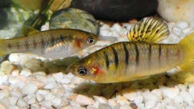 Photo of Hubert Zientek: Limka czarnopręga (Limia nigrofasciata) – ryba w opałach