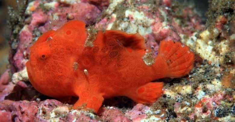 Antennarius spp.