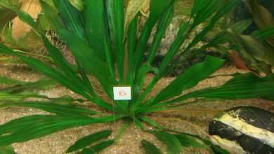 Photo of Echinodorus uruguayensis