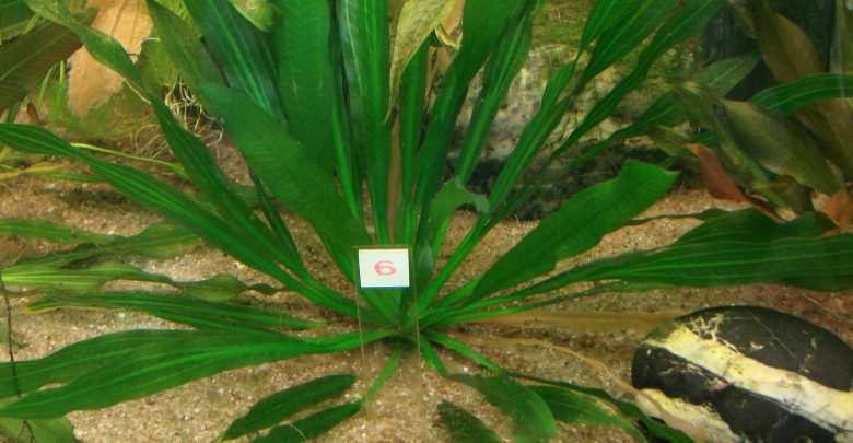 Echinodorus uruguayensis