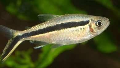 Photo of Thayeria boehlkei