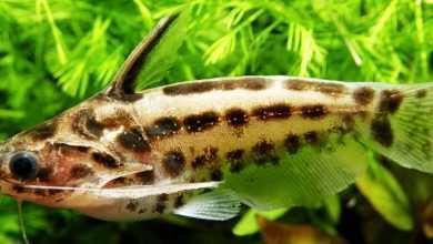 Photo of Trachelyopterus leopardinus