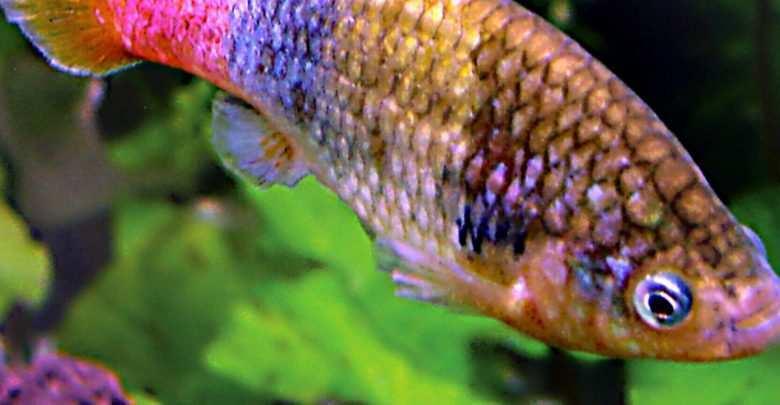 ryby żyworodne