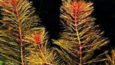 Photo of Zeszyt Akwarystyczny nr 31 (31): Julia Sarnowska, Paweł Zarzyński: Akwarium w kolorze czerwieni, czyli rośliny o purpurowych liściach