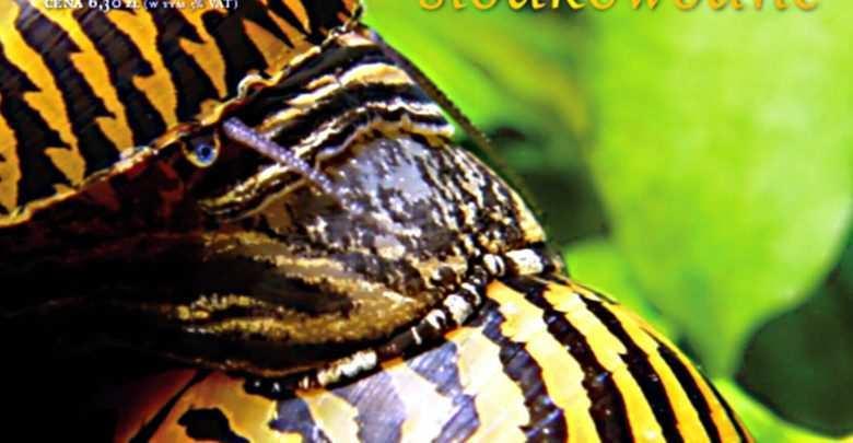 Ślimaki słodkowodne