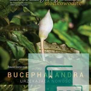 bucephalandra roślina