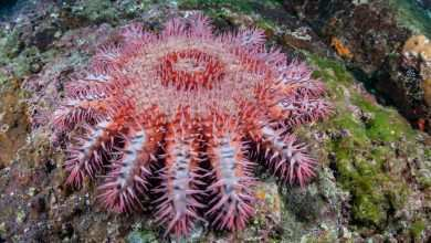 Photo of Acanthaster planci