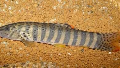 Photo of Parabotia fasciata