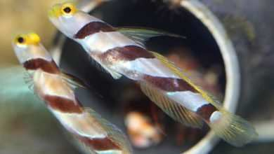 Photo of Stenogobiops nematodes
