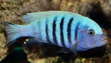 "Photo of Obsada akwarium typu ""Malawi"""