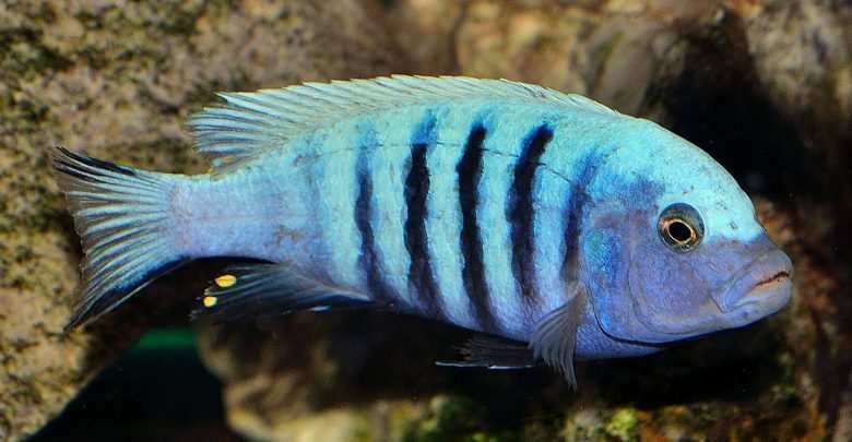 ryby Afryka Malawi