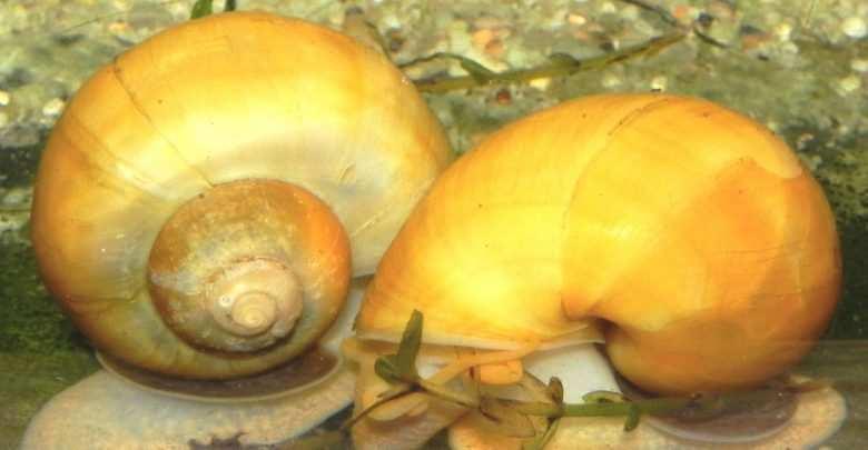 Pomacea diffusa – najpopularniejsza ampularia w naszych akwariach