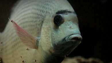 Photo of Damian Skrabarczyk: Jeszcze słów kilka o Paretroplus menarambo – czyli o rybach, które boją się ciemności