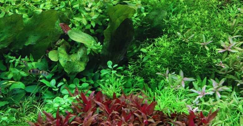 rośliny dyskowce