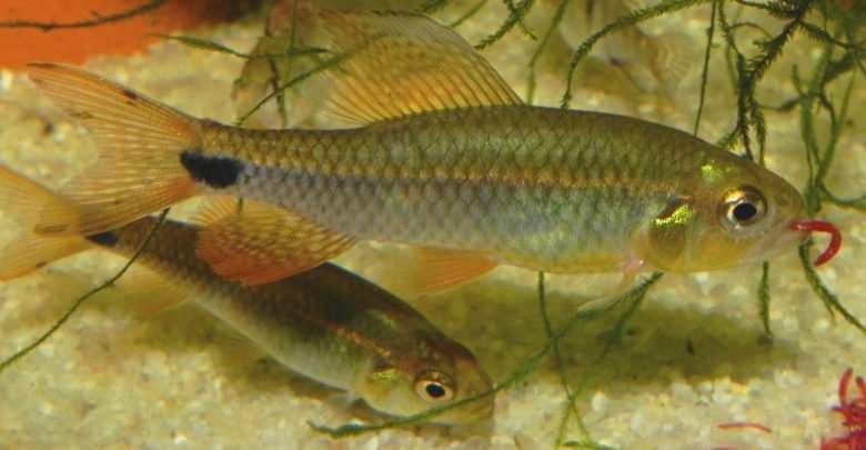 Hubert Zientek: Agresor tęczowy (Crenuchus spilurus) – rzadki kąsaczokształtny w naszych akwariach