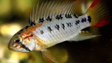 Akwarium biotopowe dla pielęgniczek