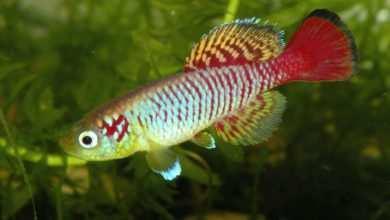 Ryby sezonowe Pięknie wybarwiony samiec zagrzebki afrykańskiej porady akwarystyczne