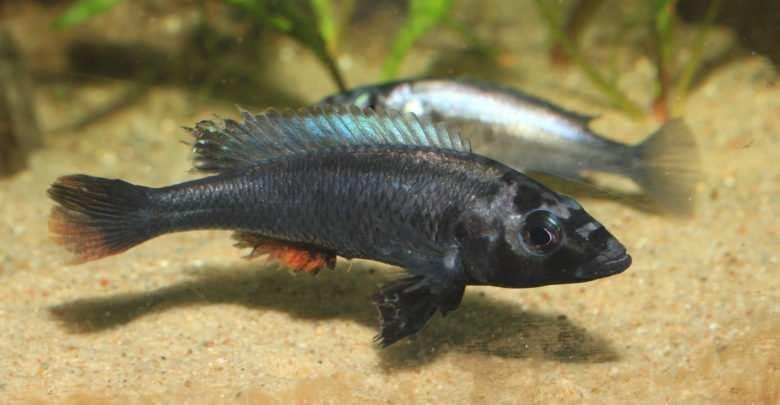 Haplochromis thereuterion. Fot. Lechosław Łątka