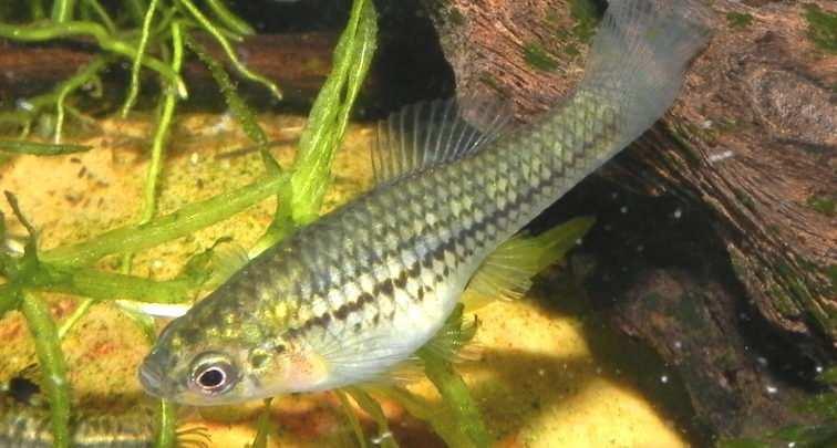 Xiphophorus nezahualcoyotl. Fot. Hubert Zientek