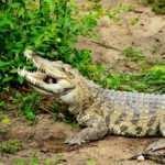 Krokodyl syjamski. Fot. Paweł Czapczyk. Magazyn Akwarium czsopismo