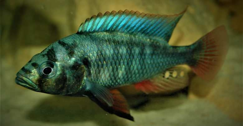 Haplochromis (Paralabidochromis) plagiodon Iringo. Fot. Piotr Stolc
