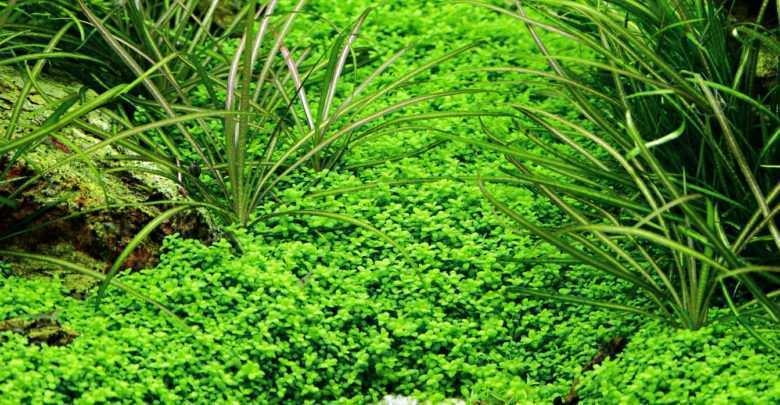 Hemianthus callitrichoides i Echinodorus tenellus rośliny akwariowe