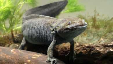 Axolotl, Ambystoma mexicanum. Porady Magazynu Akwarium