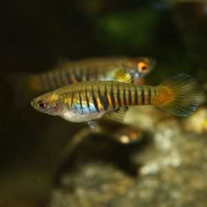 Ryby Ameryki Północnej