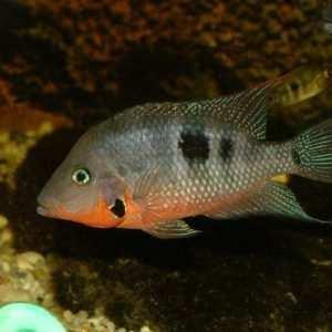 Ryby Ameryki Środkowej