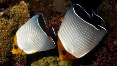 Photo of Chaetodon larvatus