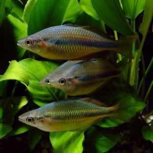 Ryby Australii i Oceanii