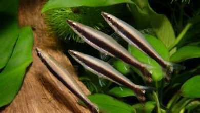 Nannostomus unifasciatus. Fot. Jacek Klonowicz