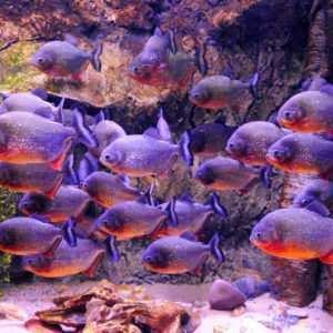 Ryby Ameryki Południowej