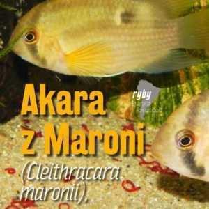 akara z Maroni