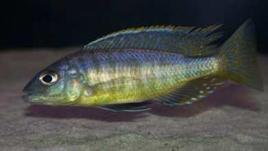 Mylochromis spilostichus Makakola. Fot. Wojciech Sierakowski Magazyn Akwarium czasopismo