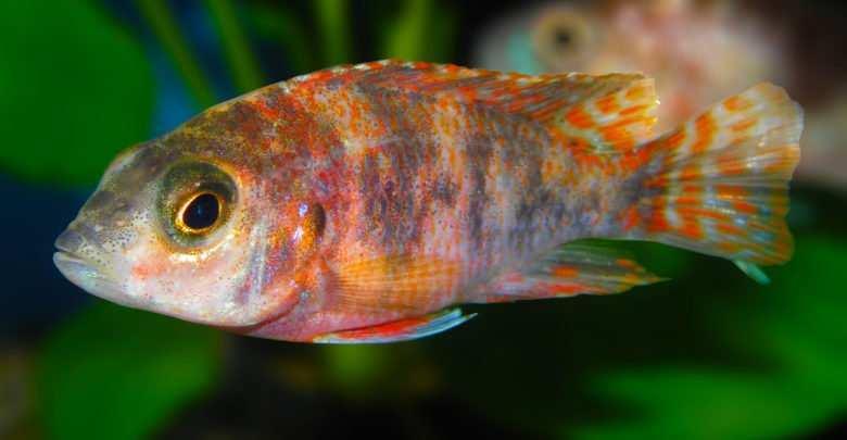 Aulunacara Fire Fish. Fot. Shutterstock. Porady akwarystyczne Magazynu Akwarium
