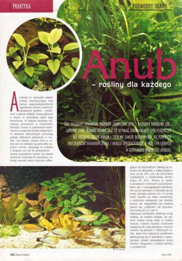 rośliny akwariowe anubiasy