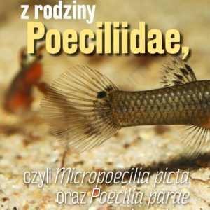 Micropoecilia picta Poecilia parae