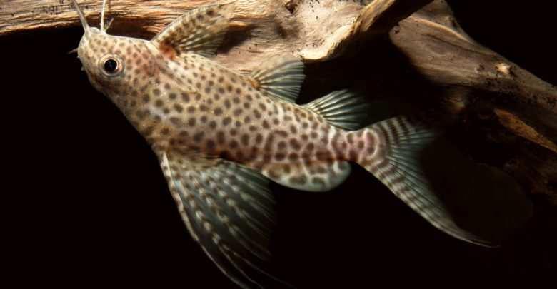 Giętkoząb wielkopłetwy (Synodontis euptera)