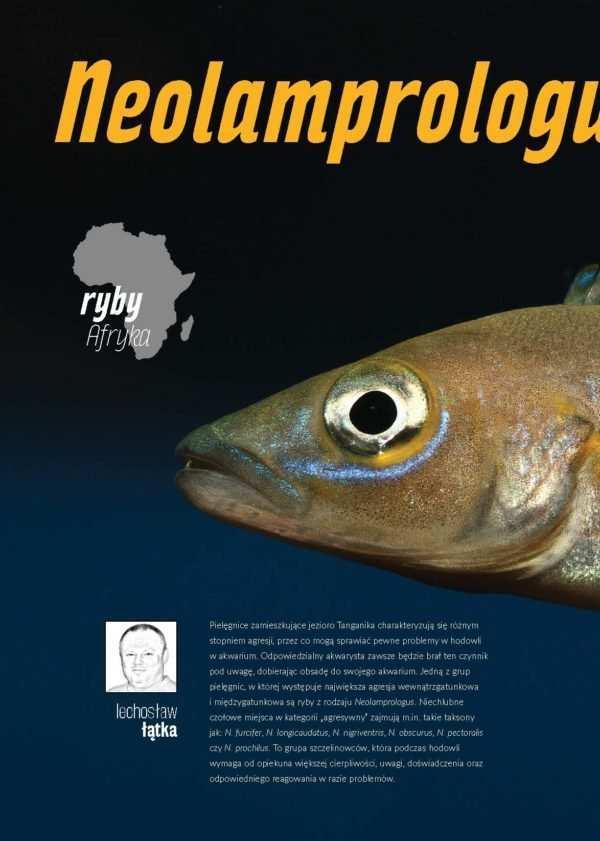 Neolamprologus nigriventris