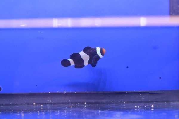 ospa rybia