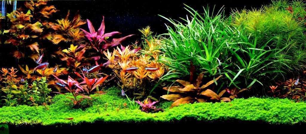 Neony Innesa w akwarium ozdobnym