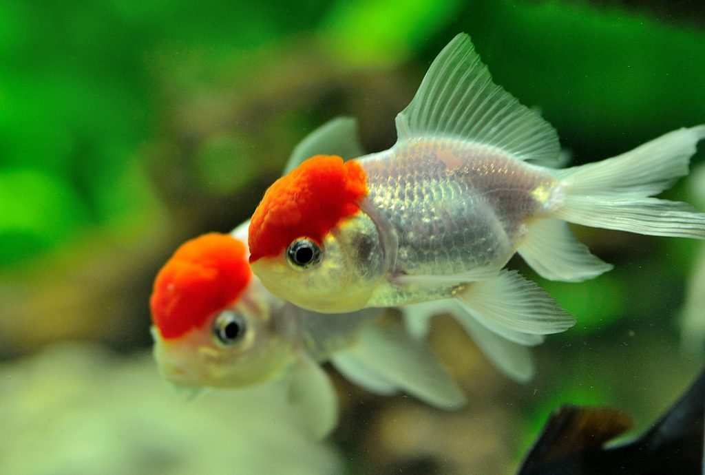 Złote rybki odmiany oranda