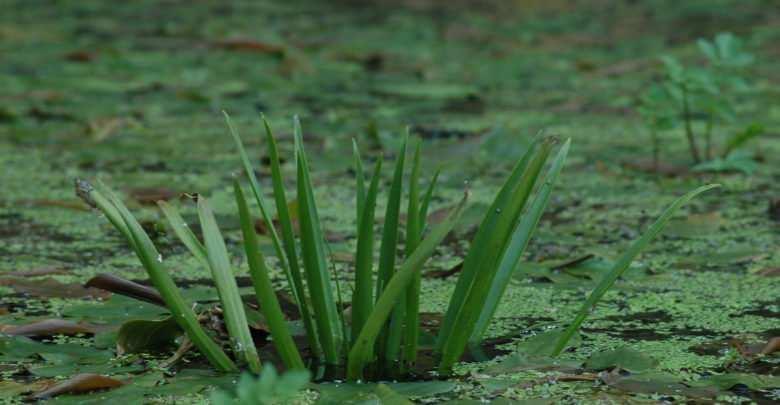 Osoka aloesowata (Stratiotes aloides)