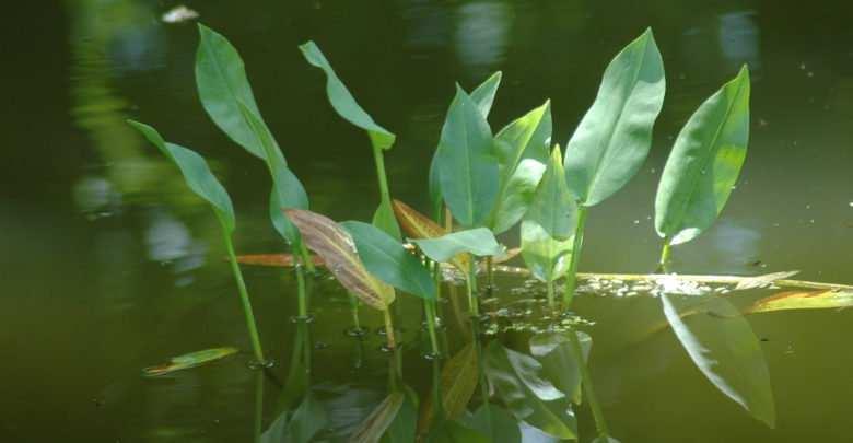 Żabieniec babka wodna Alisma plantago- aquatica