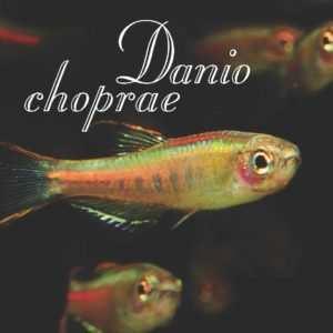 Danio choprae