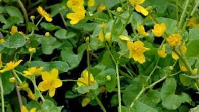 Knieć błotna Caltha palustris.