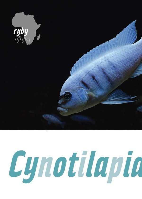 Cynotilapia